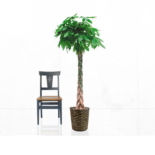観葉植物 パキラ 10号 【籐カゴ付き】