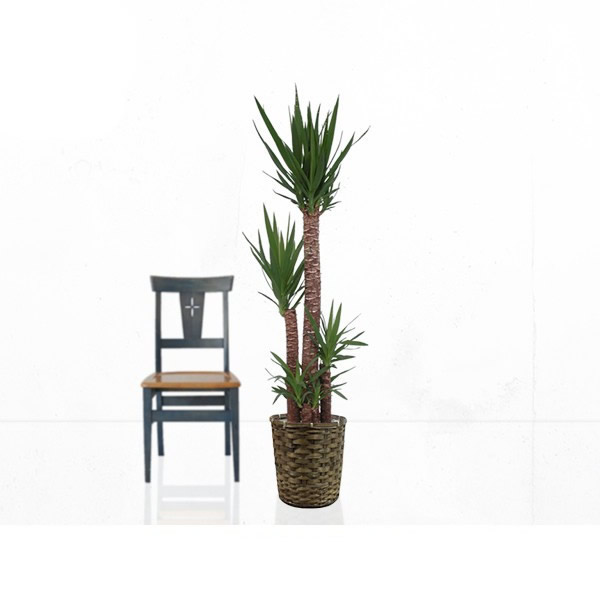 観葉植物 ユッカ(青年の木) 10号 【籐カゴ付き】