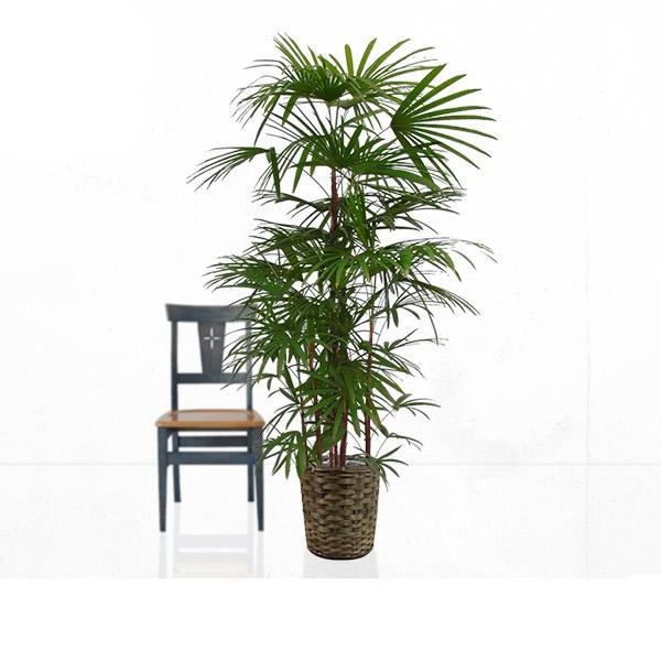 観葉植物 シュロチク 10号 【籐カゴ付き】