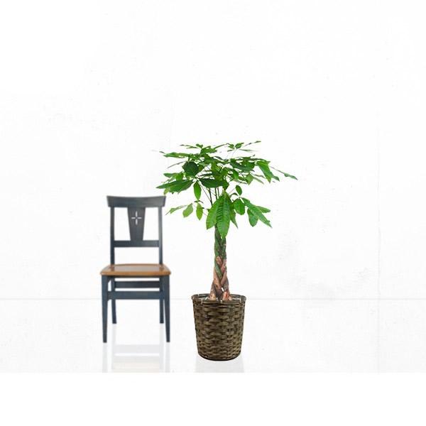 観葉植物 パキラ 8号 【籐カゴ付き】