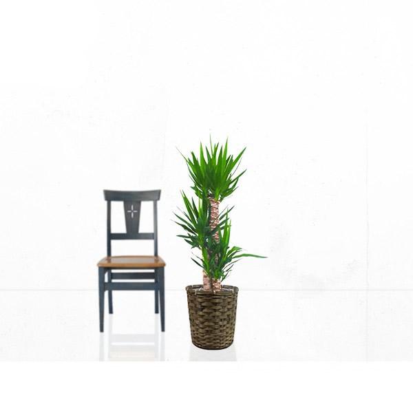観葉植物 ユッカ(青年の木) 8号 【籐カゴ付き】